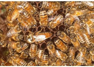 api regine selezionate ligustica - stagione 2019